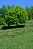 Tree. Green tree on a hill on a sunny day Stock Image
