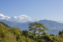 Green tree on a hillside on the background of the mountain valley of Annapurna under a clear blue sky. Nepal Himalaya. A green tree on a hillside on the royalty free stock images