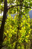 Green tree illuminated by sun in Mountain. Shangfangshan Yellow Mountains, Global Geopark of China. It is one of China`s major tourist destinations. Mountain Royalty Free Stock Image