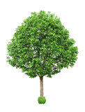 Green tree isolated. Nature, wood Royalty Free Stock Photo
