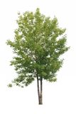 Green tree isolated. Tree with green leaves isolated on white background Royalty Free Stock Photo