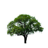 Green Tree Isolated. On white background Royalty Free Stock Images