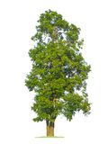 Green tree isolated on pure white Stock Images