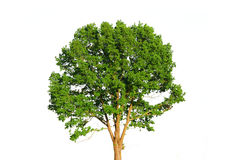 Green tree isolated on white. Background Royalty Free Stock Photos