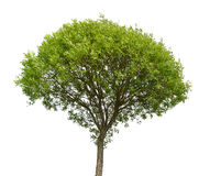 Green tree isolated on white Stock Photos