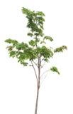 Green tree  isolated Stock Photography