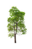 Green Tree isolated on white.  Stock Photos