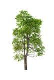 Green Tree isolated on white Stock Photos