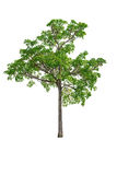 Green Tree isolated on white.  Royalty Free Stock Images