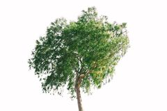 Green tree isolated on white background. Green tree isolated on a white background Royalty Free Stock Photo