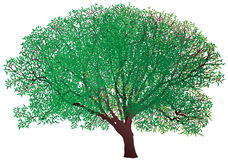 Green tree isolated on white background Royalty Free Stock Photos