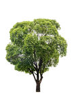 Green tree isolated Stock Images