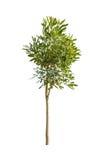 Green tree isolated Stock Photos
