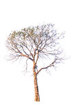 Green tree isolated Royalty Free Stock Images