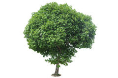 Green Tree isolated. With white background Royalty Free Stock Photography