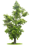 Green Tree isolated. With white background Royalty Free Stock Photos