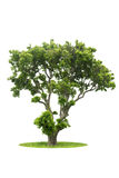 Green Tree isolated. With white background Stock Photography