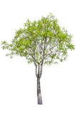 Green tree isolated Royalty Free Stock Photography