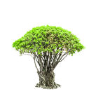 Green tree isolated Stock Image