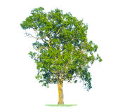 Green tree isolated on white Stock Image