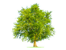 Green tree isolated in white Stock Images