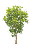 Green tree isolated on white background Royalty Free Stock Image