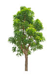 Green tree isolated on white background Stock Image