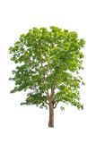 Green tree isolated on white background Royalty Free Stock Photo
