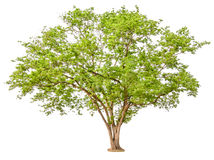 Green Tree isolated on white background.  Royalty Free Stock Images