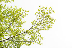 Green Tree, Isolated on white background. Royalty Free Stock Photo