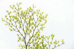Green Tree, Isolated on white background. Stock Photo