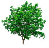 Green tree isolated royalty free stock image