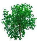 Green tree isolated Stock Photo
