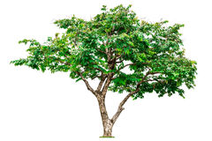 Green tree isolated. Royalty Free Stock Image