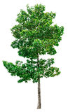 Green tree isolated. Royalty Free Stock Photography
