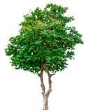 Green tree isolated. Stock Photos