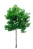 Green tree isolated. Stock Photography
