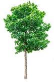 Green tree isolated. Stock Image
