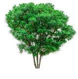 Green tree isolated. Royalty Free Stock Photos