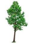 Green tree isolated. Royalty Free Stock Photo