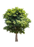 Green tree isolated on white background. With clipping path Stock Image