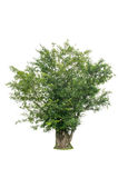 Green Tree isolated on white background with clipping path. Green Tree isolated on white background Stock Photos