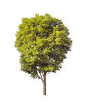 Green tree isolated on white. Background with clipping path Royalty Free Stock Images