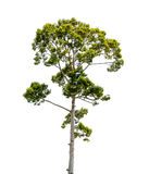 The green tree isolated on white backgroup. Green tree isolated on white backgroup Royalty Free Stock Image