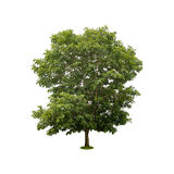 Green tree isolated on white with clipping path Stock Photography