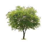 Green tree isolated on white with clipping path Royalty Free Stock Photography