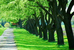 Green tree lane. Lane of bright green summer trees moving with breeze Stock Images
