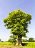 Green tree large trunk Royalty Free Stock Photo