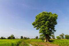 Green tree large trunk Royalty Free Stock Image