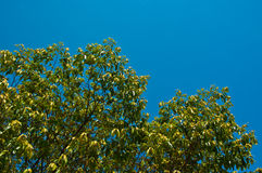 The green tree on blue sky Royalty Free Stock Image